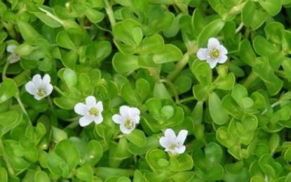 Everything you need to know about Bacopa monnieri dosage