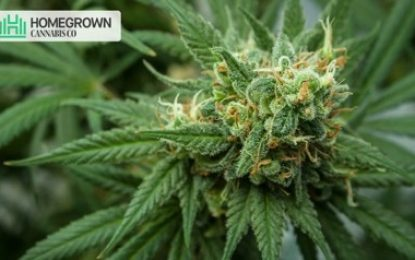 Cannabis Flowering Stage: Things You Need To Know