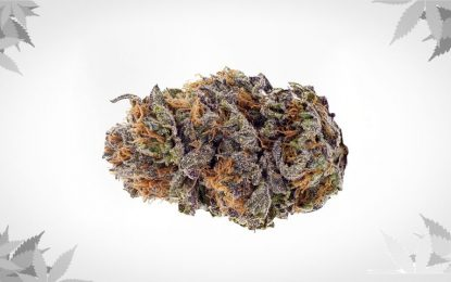 An Overview of Purple Kush Strain